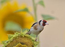 Eurasian Goldfinch