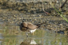 White-collared Pratincole