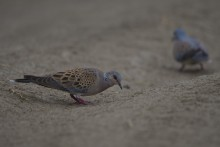 Eastern Turtle Dove