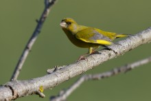 Western Greenfinch