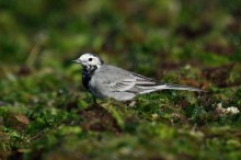Pied White Wagtail