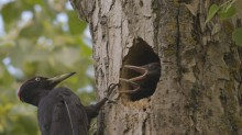 video of Black Woodpecker