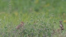 video of Corn Bunting