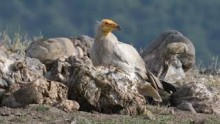 video of Egyptian Vulture