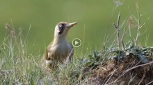 video of Green Woodpecker
