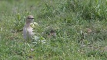 video of Isabellin Wheatear