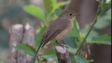 video of Semcollared Flycatcher