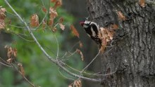 video of Great Spotted Woodpecker