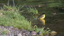 video of Yellow Wagtail