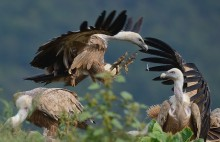 video of Griffon Vulture