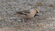 video of Hawfinch